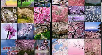 Sakura cherry blossoms hd wall
